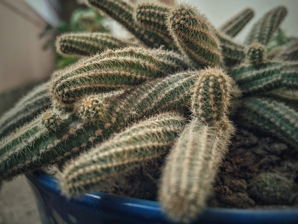 Echinopsis : Tout savoir sur le cactus de l'arachide